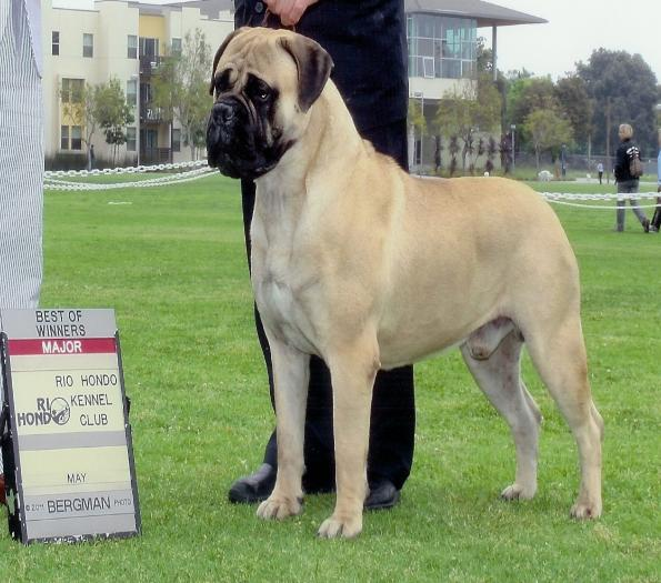 Bullmastiffs for Sale | Dogs on Oodle Classifieds